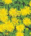 Inula Ensifolia Perennial