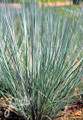 Ornamental Grass Seed - Andropogon Scoparius Prairie Blues seeds