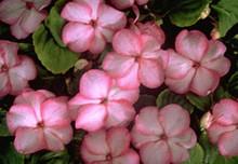 Impatiens Swirl Series Pink