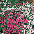 Impatiens Super Elfin Series Pastel Mix