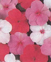 Impatiens Super Elfin Series  Parfait Mix