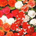 Impatiens Double Carousel Series Mix