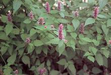 Herb Seeds - Hyssop Seeds
