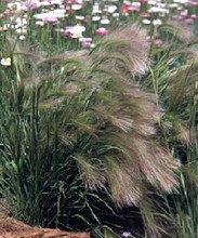 Ornamental Grass Seed - Hordeum Foxtail Grass