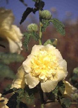 Hollyhock Queeny Series Yellow