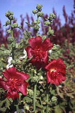 Hollyhock Queeny Series Red