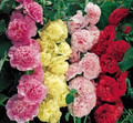 Hollyhock Queeny Series Mix