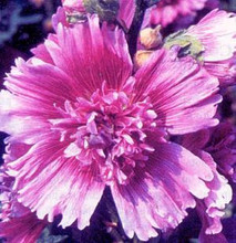 Hollyhock Queeny Series Purple