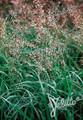 Ornamental Grass Seed - Hierochloe Odorta Sweet Grass Seed