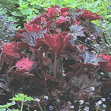 Heuchera Coral Bells Macrantha Palace Select