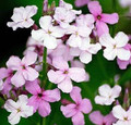 Hesperis Sweet Rocket Matronalis Mix
