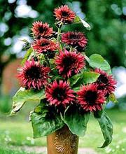 Helianthus Sunflower Double Dandy Red