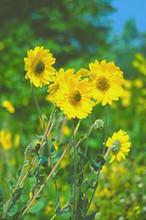 Helianthus Perennial Sunflower Mollis