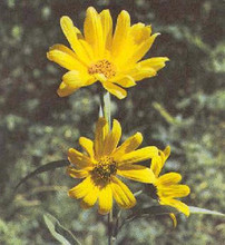 Helianthus Perennial Sunflower Maximilianii