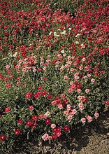 Helianthemum Sun Rose Nummularia Mutabile Mix