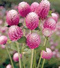 Gomphrena Bicolor Rose