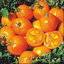 Golden Sunray Heirloom Tomato