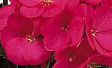 Geranium Zonal Ringo 2000 Series Violet