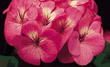 Geranium Zonal Pinto Series Pink