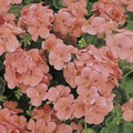 Geranium Zonal Multibloom Series Salmon