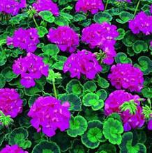 Geranium Zonal Multibloom Series Lavender