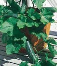 Spacemaster 80 Bush Cucumber