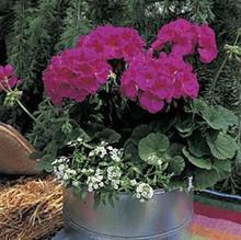 Geranium Zonal Maverick Series Violet