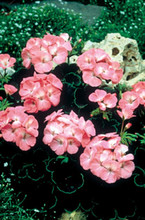 Geranium Zonal Black Velvet Series Rose