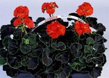 Geranium Zonal Black Velvet Series Red