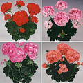 Geranium Zonal Black Velvet Series Mix