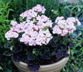 Geranium Zonal Black Velvet Series Appleblossom