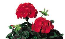 Geranium Zonal  Ringo 2000 Series Deep Scarlet