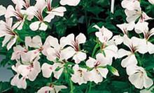 Geranium Ivy Tornado Series White