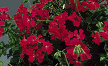 Geranium Ivy Tornado Series Red
