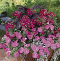 Geranium Ivy Summer Showers Series Fuchsia