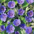 Geranium Bohemicum Orchid Blue