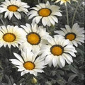 Gazania Kiss Series Frosty White