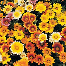 Gazania Dynastar Series Mix