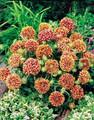 Gaillardia Sundance Bicolor