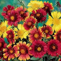 Gaillardia Blanket Flower Aristata Monarch Mix