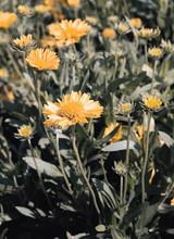 Gaillardia Blanket Flower Aristata Golden Goblin