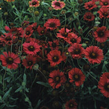 Gaillardia Blanket Flower Aristata Burgundy