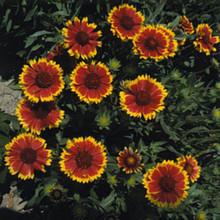 Gaillardia Blanket Flower Aristata Dazzler