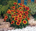 Gaillardia Blanket Flower Aristata Arizona Sun