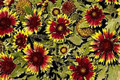 Gaillardia Blanket Flower Aristata Bijou