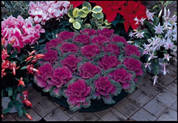 Flowering Kale Nagoya Series Red Annual Seeds