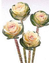 Flowering Cabbage Sunrise