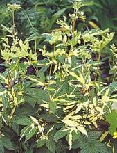 Filipendula Meadowsweet Ulmaria