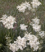 Filipendula Meadowsweet Hexapetala