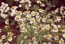 Herb Seeds - Feverfew
